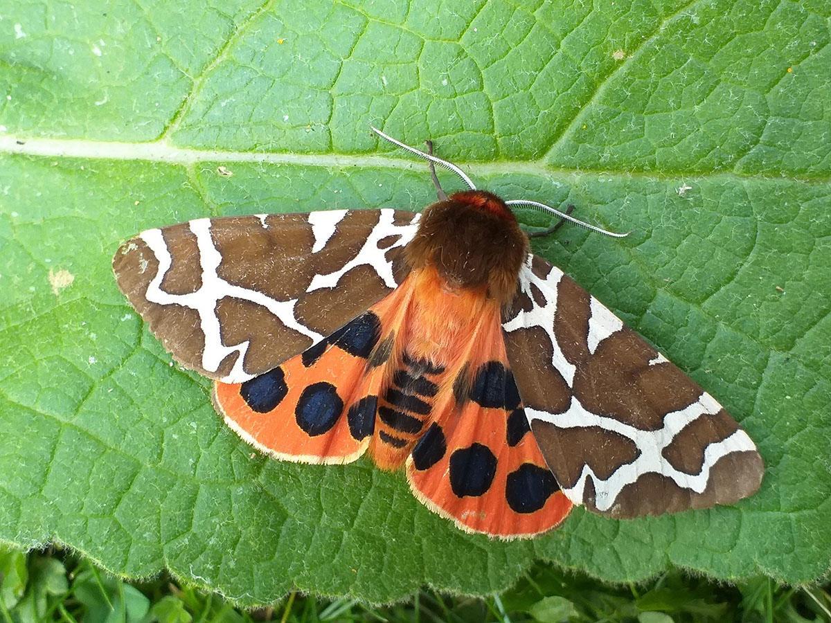 Purdis Heath's Garden Tiger Moth