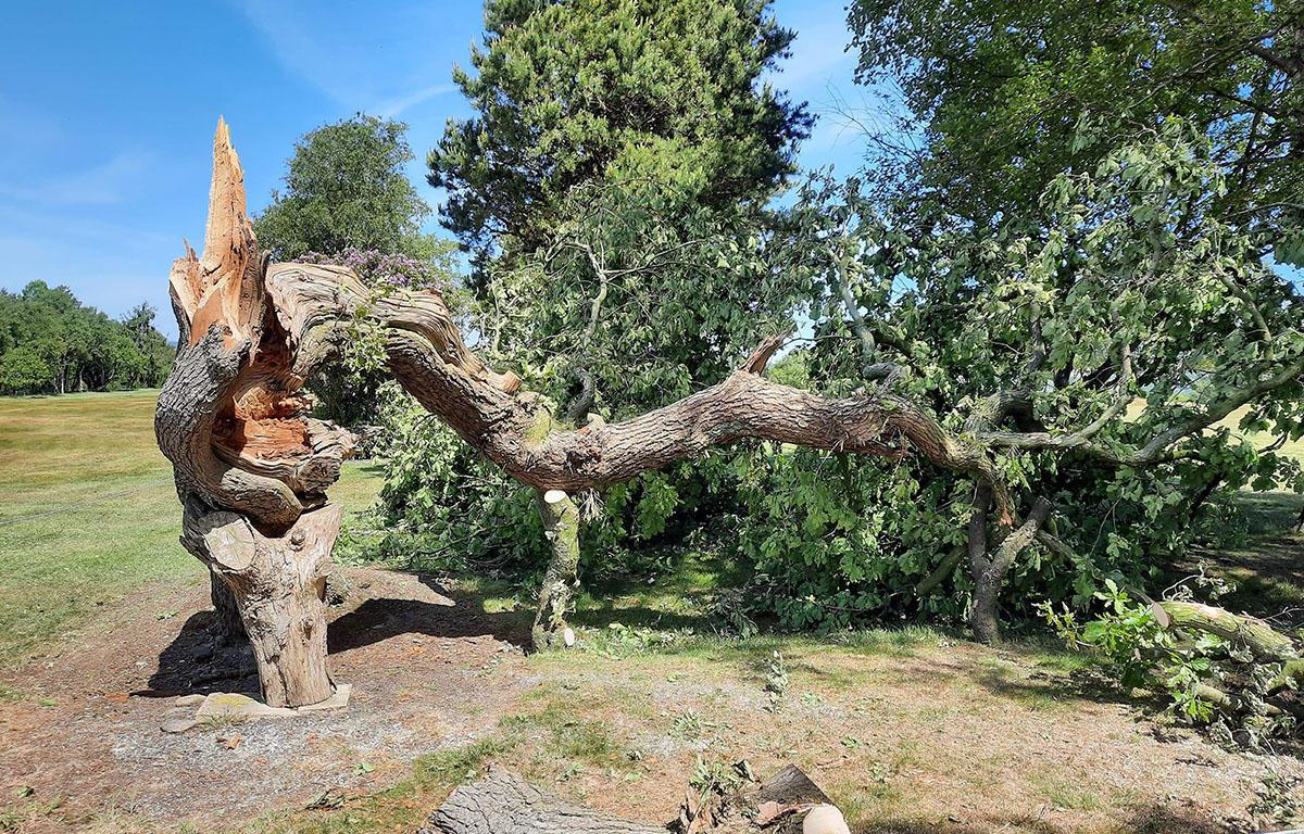 The twisty oak at Chorley Golf Club - Lancashire