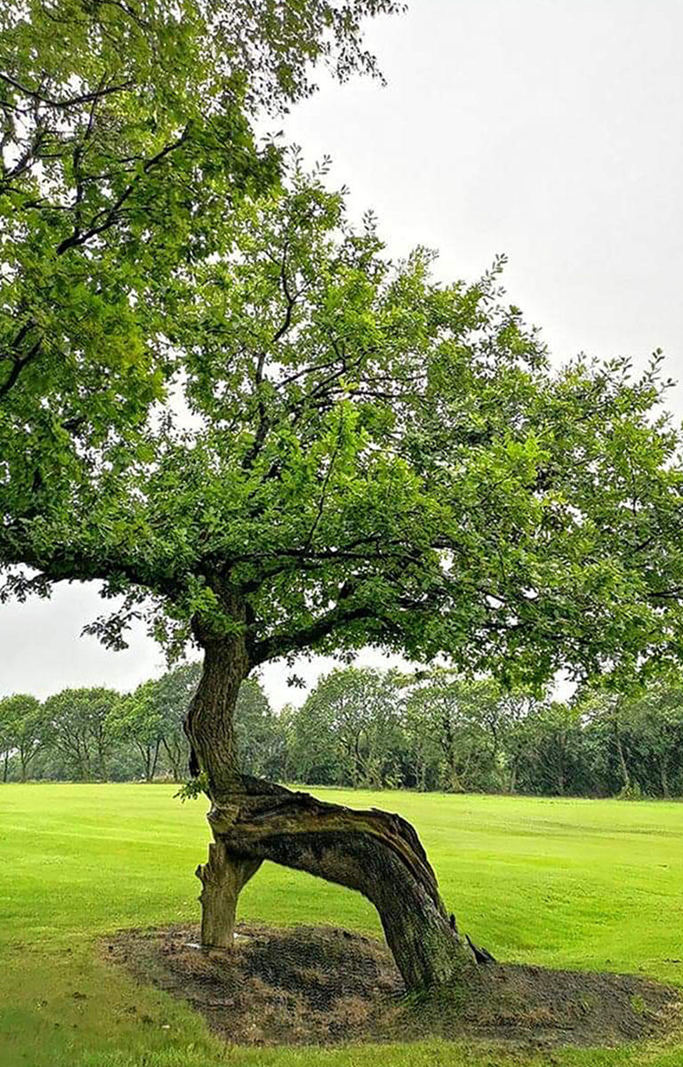 The limbs of the oak tree are contorted and twisted