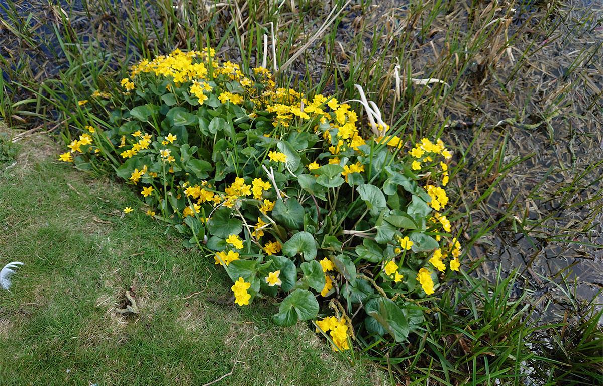 Market Harborough wetland wildflowers