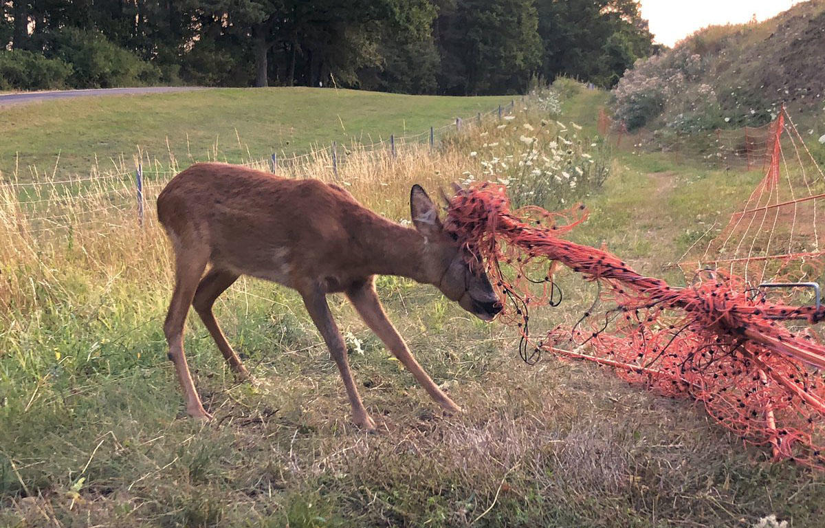 Deer tangled up in a sheep fence