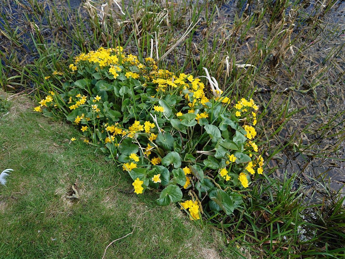 Market Harborough wetland wildflower