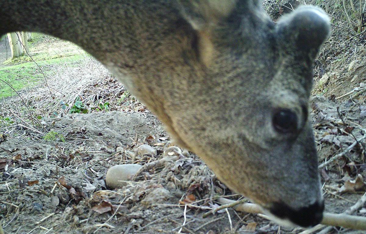 Roe Deer at Hexham