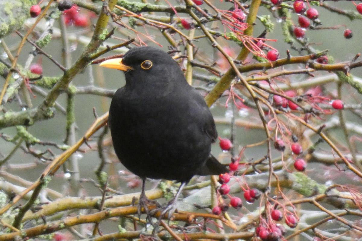 Blackbird at Clitheroe