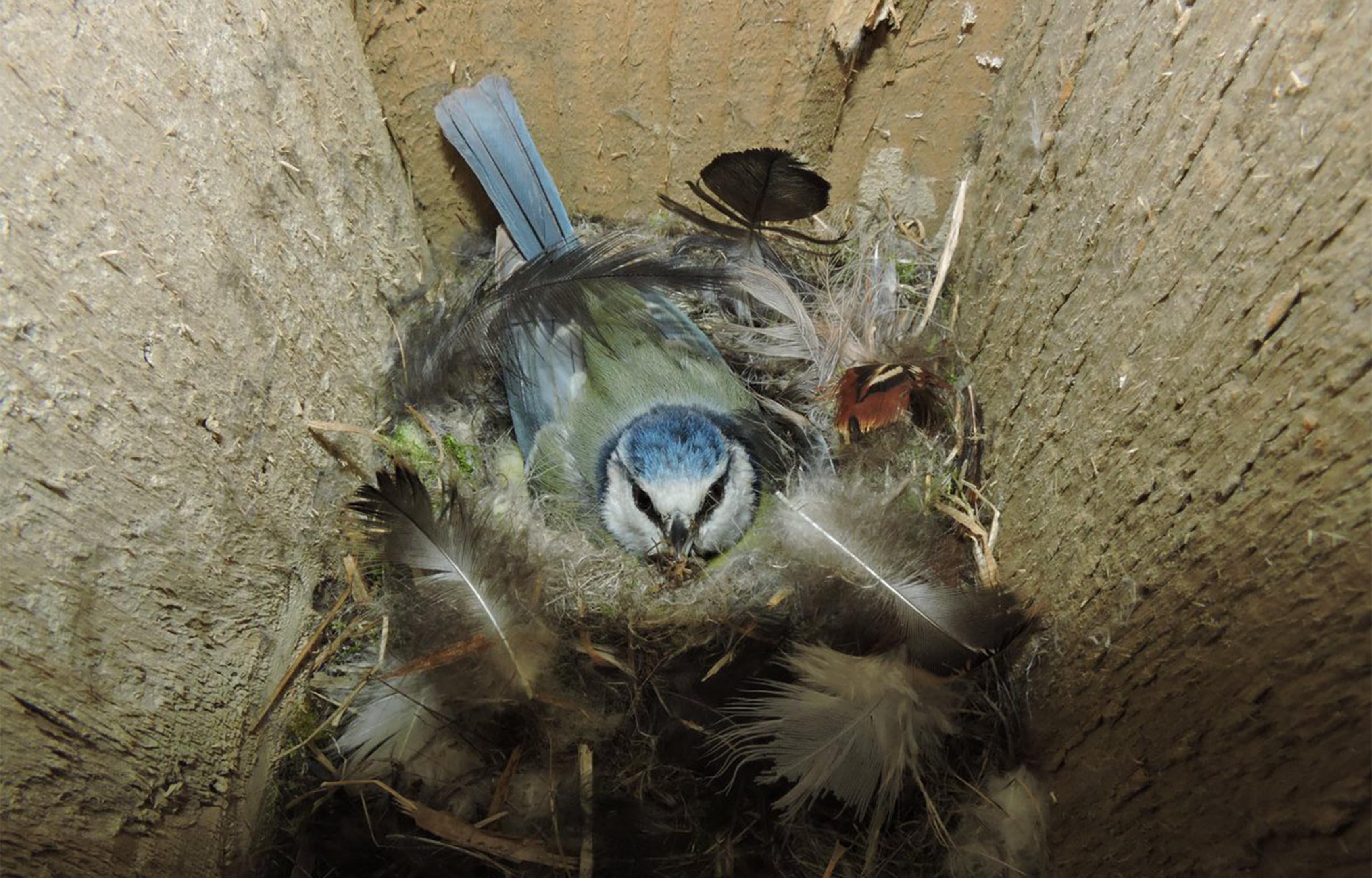 Nesting blue tit at Purdis Heath